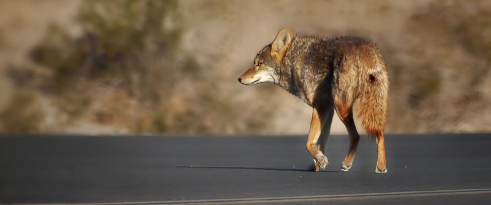 PHOTO: A warning has been issued in California where there has been a growing number of coyote attack.