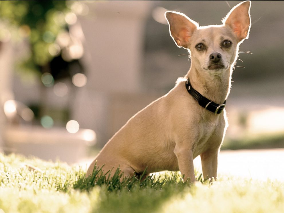 PHOTO: Gidget the Taco Bell dog during a photo session in October 1998 in Los Angeles, Calif.