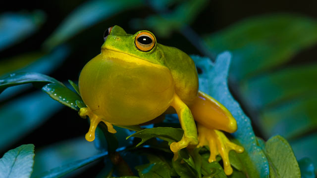 PHOTO: Close-up of a frog with an inflating throat.