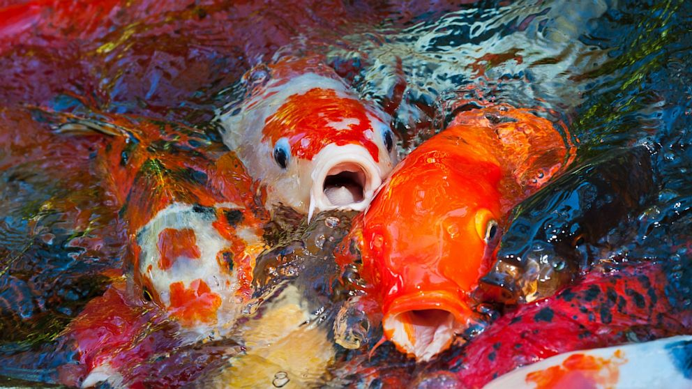 400 Valuable Koi Fish Stolen From Park Pond In Virginia Abc News