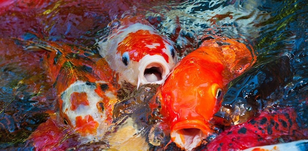 koi swiped from virginia park pond abc news