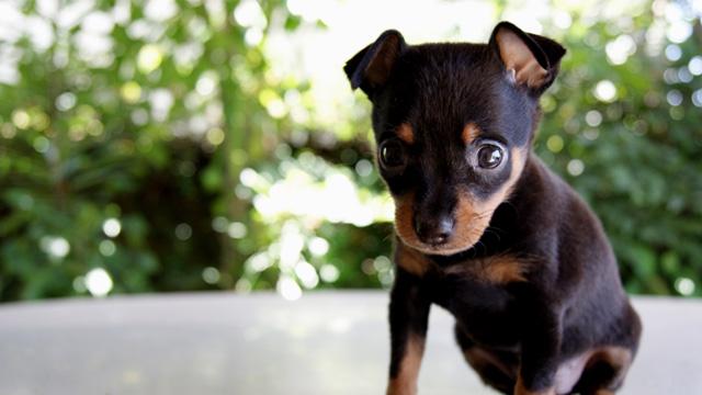 PHOTO: Rottweiler puppy