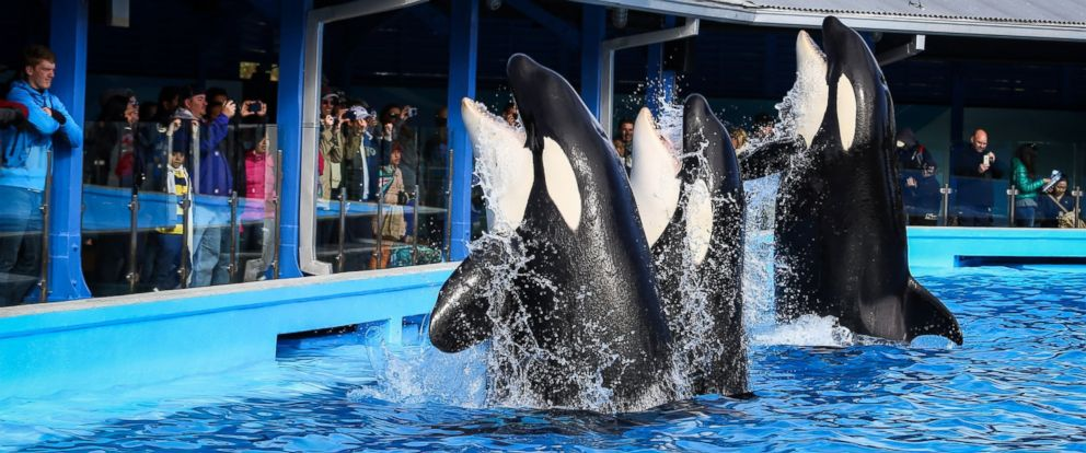 PHOTO: Orcas during a show at the Shamu Up Close attraction at Sea World in Orlando, Fla., Jan. 7, 2014.