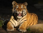 PHOTO: A woman in Indiana is in critical condition after being mauled by a tiger Friday, June 21, 2013.