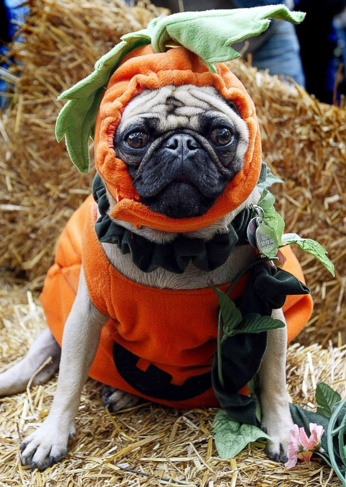 PHOTO: Colette is dressed as a pumpkin at the 13th annual Dog Halloween Parade on Oct. 26, 2003, in New York City.