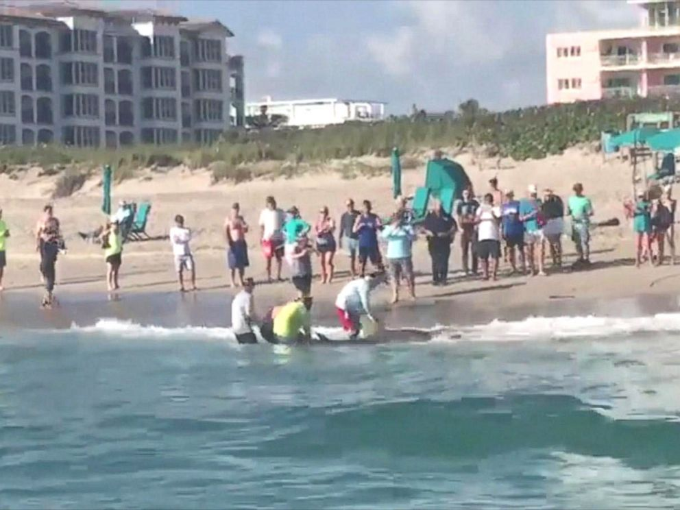 PHOTO: Leigh Cobb took video of a hammerhead shark being pulled ashore by beachgoers on Singer Island, Florida on Feb 8, 2018.