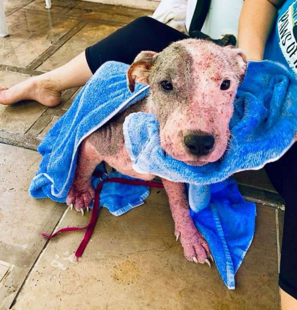 PHOTO: The animal rescue group PAWS of Hawaii released this image of a dog that they say was found after it was cut with a blade and then buried alive on a beach in Hawaii, July 9, 2019.