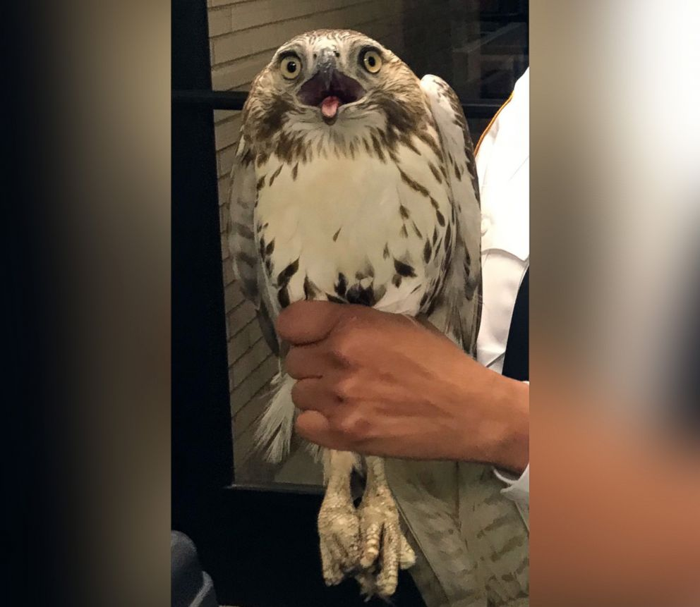 Not Your Usual Suspect New York City Police Find Hawk Broke Through A Woman S Window Not A Burglar Abc News