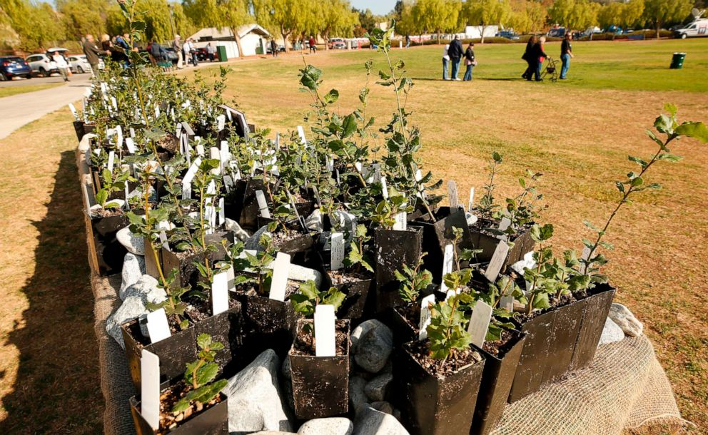 PHOTO: A thousand small oak trees signifying Thousand Oaks are ready for distribution at the beginning of dedication services at the Healing Garden constructed at Conejo Creek North Park in Thousand Oaks, Calif., Nov. 7, 2019.