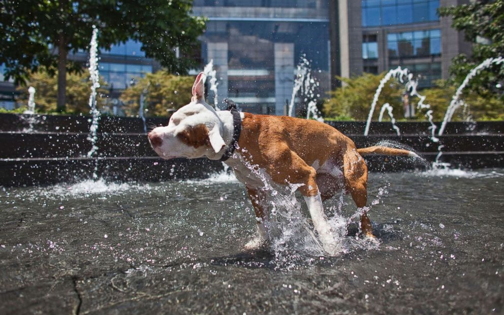 PHOTO: Max, a red nose pitbull cools himself in the Columbus Circle fountain during a heat wave on July 12, 2011 in New York City.