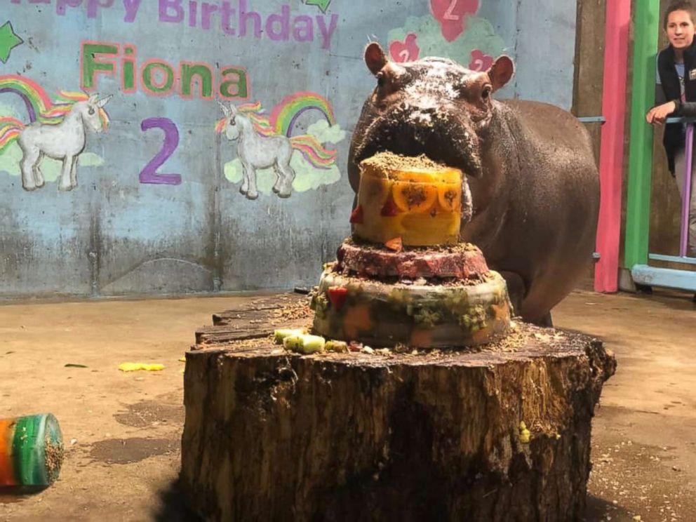 PHOTO: Fiona the hippo turned 2 at the Cincinnati Zoo & Botanical Garden.