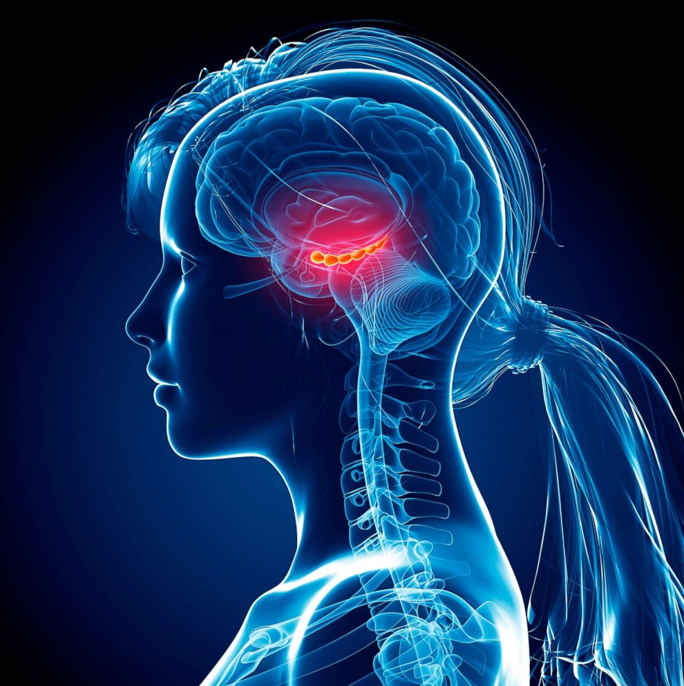 Illustration of hiccocampus of female brain.