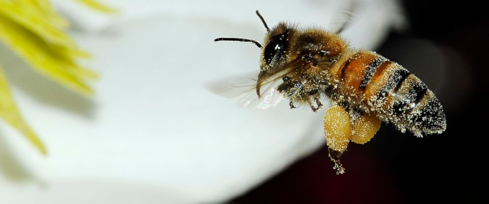 PHOTO: Experts say planting flowers that allow bees to collect nectar and pollen will help save them.