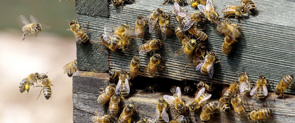 PHOTO: Honey bees are seen in a hive in this stock photo.