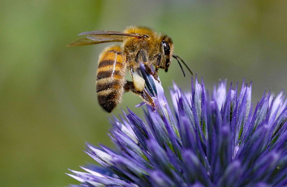 PHOTO: Honey bee lands on a flower in this stock photo.