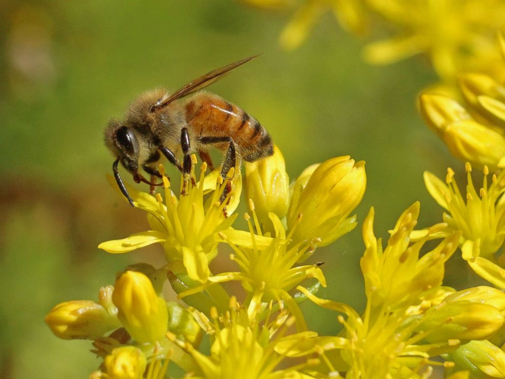 PHOTO: The honeybee is a charismatic ambassador of pollinating animals and has increased awareness about pollinator issues in general, according to Pollinator Partnership CEO Val Dolcini.