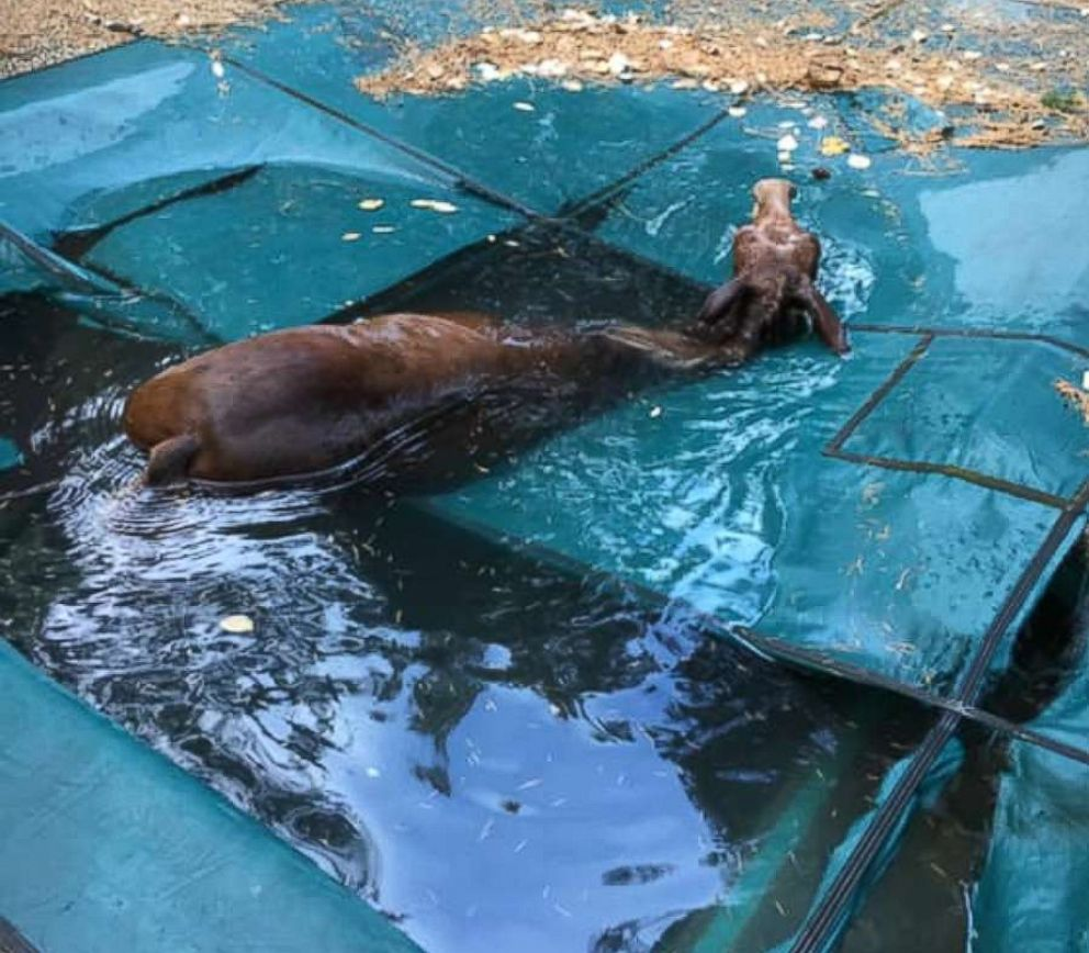 The mule was trapped in the pool covering, Paradise, California, resident Jeff Hill told ABC News.