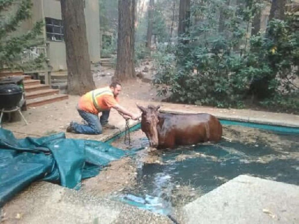 PHOTO: Paradise, California, resident Jeff Hill helped to rescue a mule who had become stuck in a swimming pool as the Camp Fire ravaged the area around it.