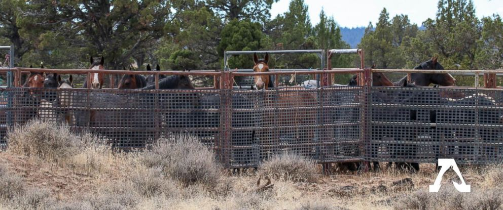 PHOTO: Wild horses from the Modac National Forest are seen in the U.S. Forest Services new holding corrals after being rounded up on Wednesday.