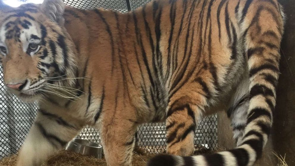 A female tiger recovered from an abandoned home in Houston, Texas is pictured during her relocation to a care facility north of the city, Feb. 12, 2019.