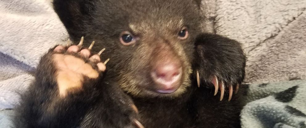 """PHOTO: Oregon resident Corey Hancock came across a 3-month-old bear cub, nicknamed """"Elkhorn,"""" while hiking on the Santiam River Trail outside Salem on Monday."""