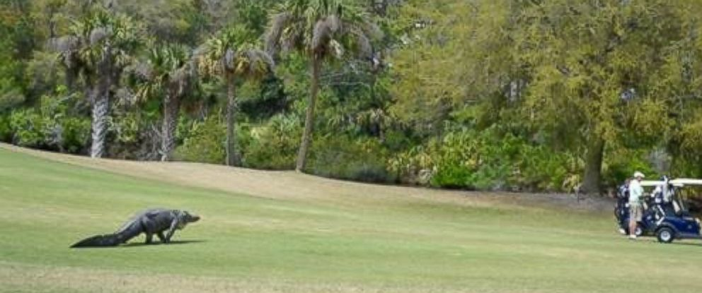 PHOTO: A large alligator interrupted a golf tournament at The River Course on Kiawah Island, South Carolina on Monday.
