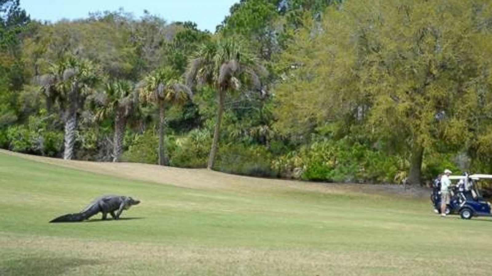 Giant Alligator Interrupts South Carolina Golf Tournament Abc News