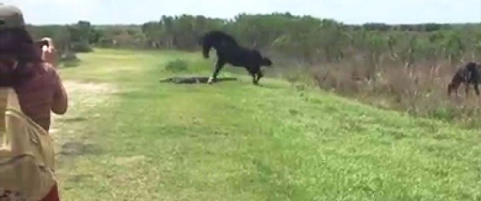 PHOTO: Witnesses captured the moment a horse attacked an alligator at the Paynes Prairie Preserve State Park in Ocala, Florida on Wednesday.