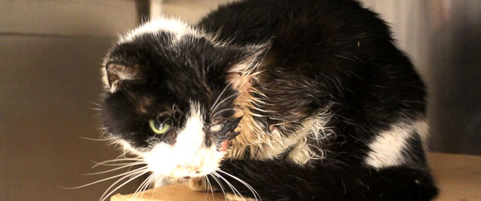 PHOTO: Bart, a cat in Tampa, was struck by a car, buried, and later re-appeared, injured but alive on his owners porch.