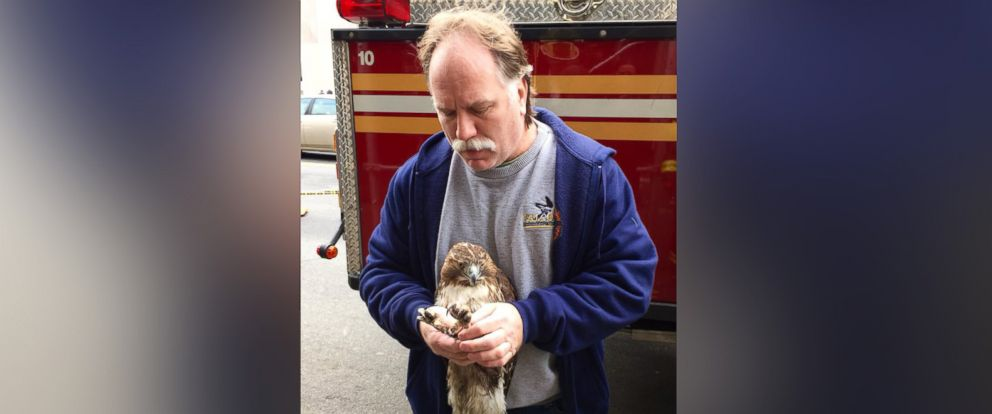 PHOTO: FDNY firefighter and licensed wildlife rehabilitator Robert Horvath rescued an injured red-tailed hawk from an air conditioning unit on the third floor of a building in New York City on Jan. 7, 2016.