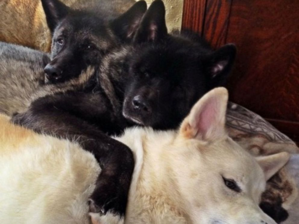 PHOTO: After Jessica VanHusen s 10-year-old dog Kiaya lost both of her eyes to glaucoma, her two younger pets, Cass and Keller, stepped up as guides.