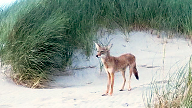 PHOTO: Aggressive coyote at Nehalem Bay State Park