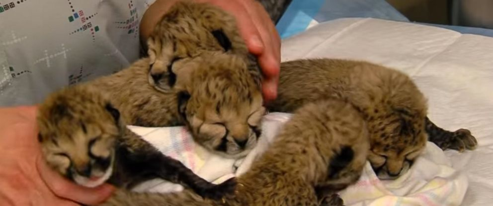 PHOTO: Cheetah cubs are seen at the Cincinnati Zoo and Botanical Garden after they were born via C-section.