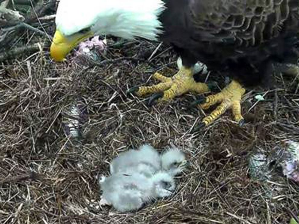 PHOTO: The second of the baby eagles hatched, March 20, 2016.