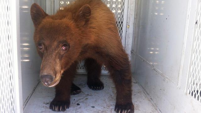PHOTO: Bear released in California