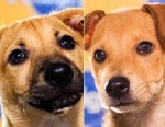 PHOTO: Biscuit (L) and Butterscotch are two puppies competing in this years Puppy Bowl on Animal Planet. Both dogs were rescued by the Sato Project after being born on Dead Dog Beach in Puerto Rico, a beach where dogs are often abandoned and abused.