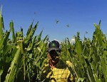 PHOTO: Farmer Harry Strohauer walks in his corn fields, Thursday July 19, 2012, near Lasalle, Colo., that are damaged from thousands of grasshoppers and drought.
