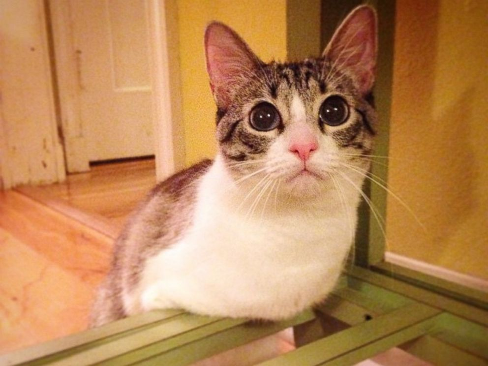 PHOTO: Known just as Roux, this adorable two-legged kitty is taking Instagram by storm.