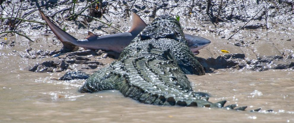 "PHOTO: Andrew Paice of Sydney, Australia photographed a crocodile nicknamed ""Brutus"" eating a live shark while on Adelaide River cruise on August 5, 2014."