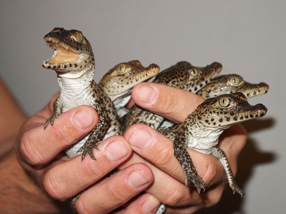 why these baby crocodiles can t wait to get to cuba abc news