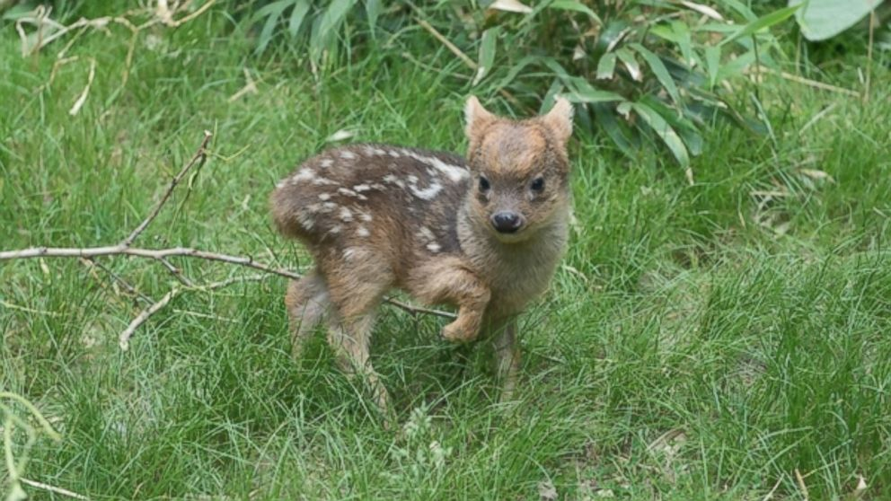 A photo released by the Wildlife Conservation Society shows the world's smallest deer species, born at the Queens Zoo in New York.
