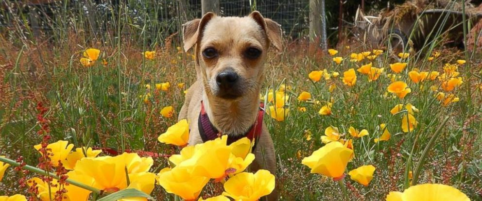 PHOTO: Boo, a Chihuahua mix, is pictured here.
