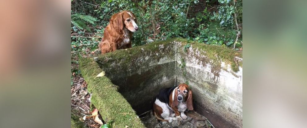 PHOTO: Tillie, an Irish Settler Spaniel mix, stood guard over her friend Phoebe, a Basset Hound, for a week after the two strayed away from home on Sept. 7, 2015 , according to their rescuer.