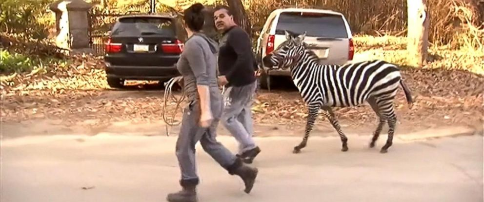 PHOTO:Two zebras led police on a chase around West Philadelphia on Sunday after they escaped from the UniverSoul Circus site in Fairmount Park, Pa., authorities said.