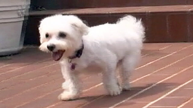 PHOTO: Fabio, a 4-year-old Maltese whose hind legs were hacked off by a former owner, is headed to New Orleans to get help walking.