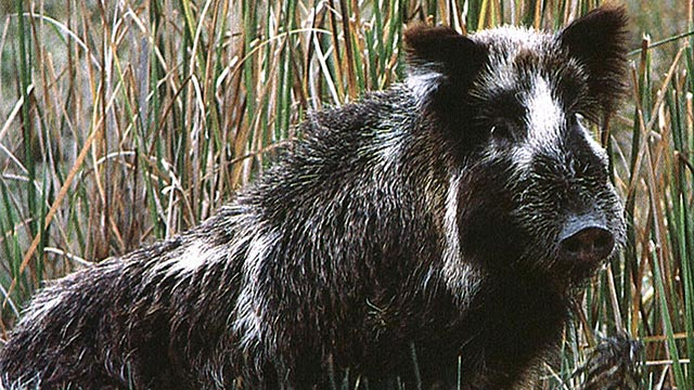 PHOTO: Feral pigs run amok in San Diego