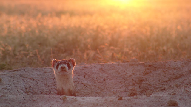 PHOTO: Wildlife experts are re-training black-footed ferrets to hunt, kill and date in the wild.