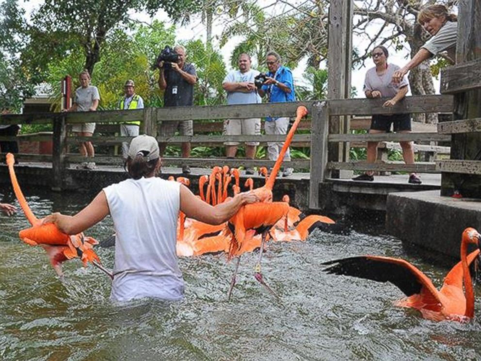 PHOTO: Zookeepers at Zoo Miami waded waist deep into the water to wrangle the flamingos.