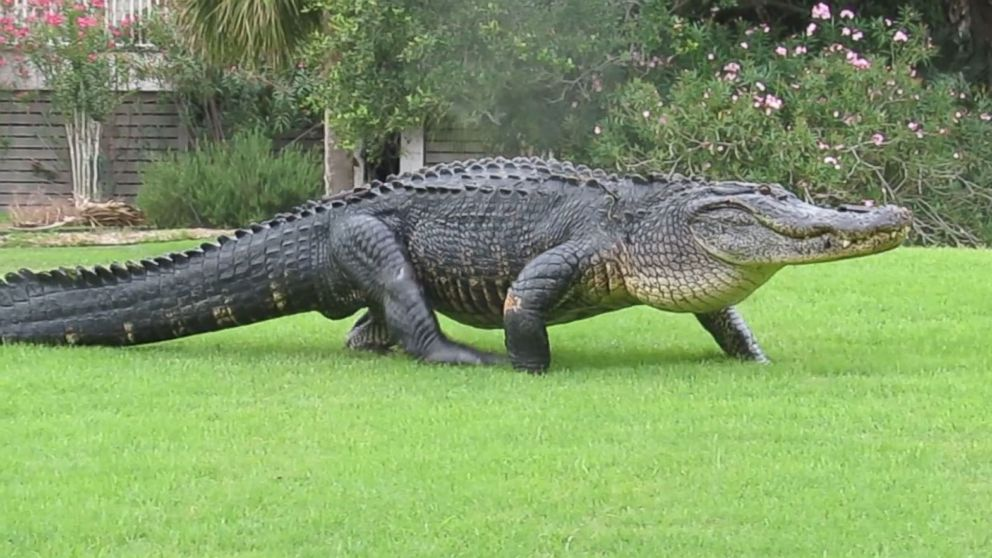 12 foot long alligator strolls across south carolina golf course 12 foot long alligator strolls across south carolina golf course ignoring human onlookers abc news forumfinder Choice Image