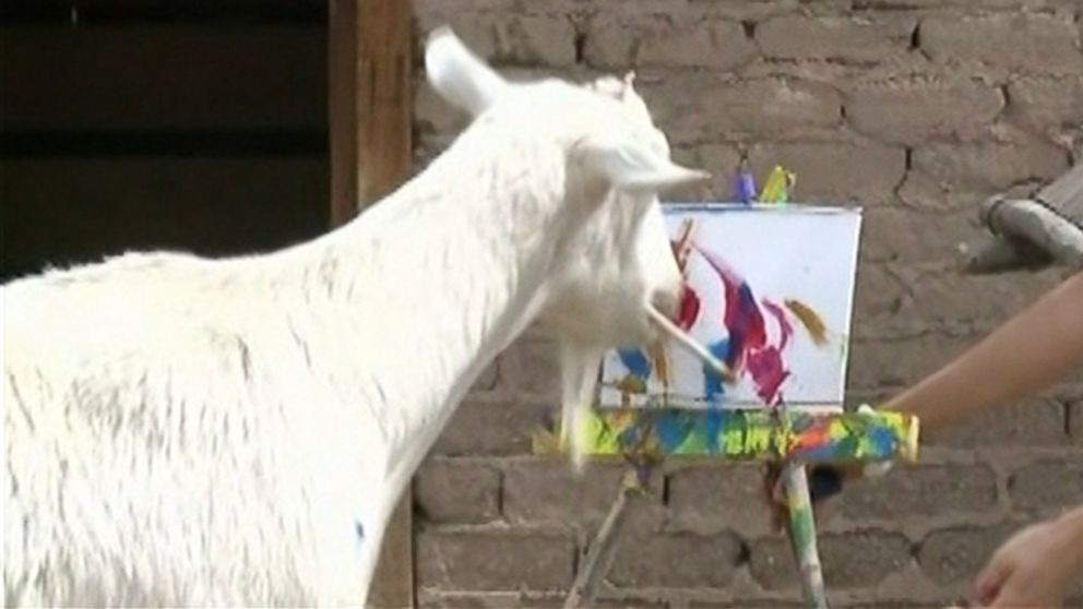 Bodie, a 4-year-old goat from ABQ BioPark in Albuquerque, New Mexico that paints, is pictured here.